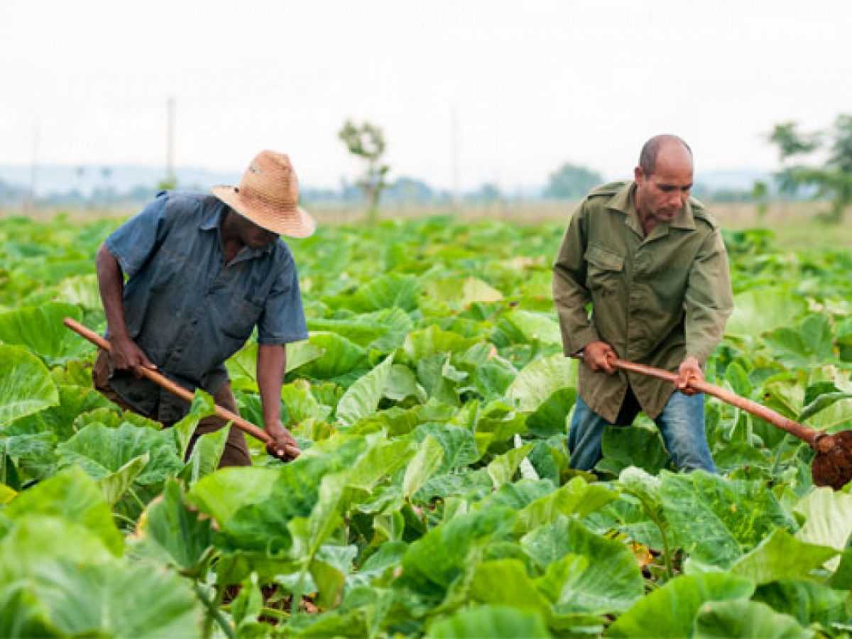 Cuba inicia siembra de transgénicos a gran escala para combatir la crisis  alimentaria -
